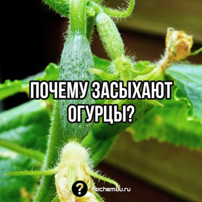 Почему засыхают огурцы?