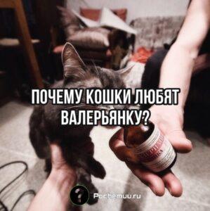 Read more about the article Почему кошки любят валерьянку. Польза и вред  валерьянки для домашних животных.