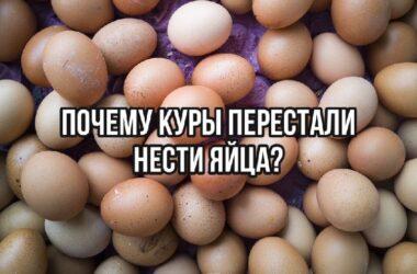 Почему куры перестали нести яйца?