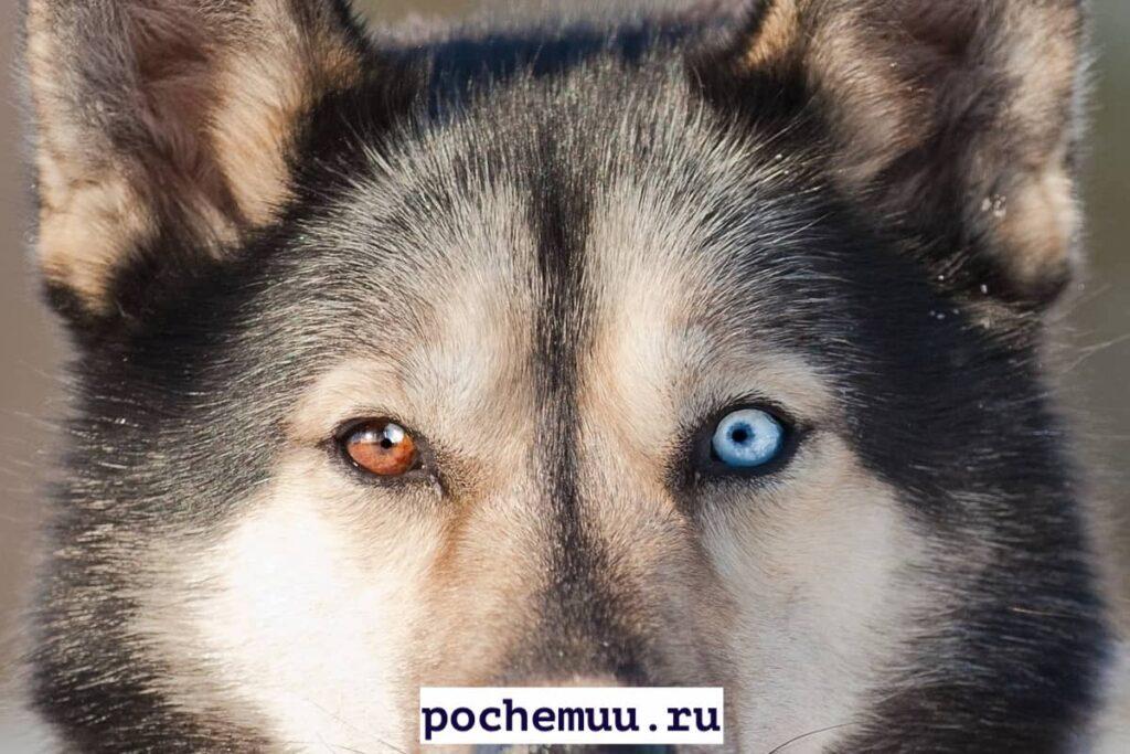 разный цвет глаз причины собаки