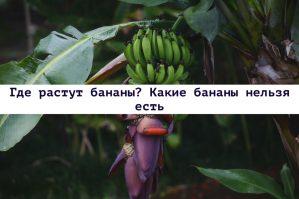 Read more about the article Где растут бананы? Какие бананы нельзя есть